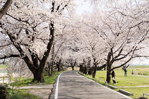 桜風景2-2