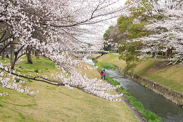 桜風景2-4