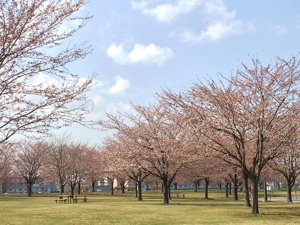 045新井田公園桜