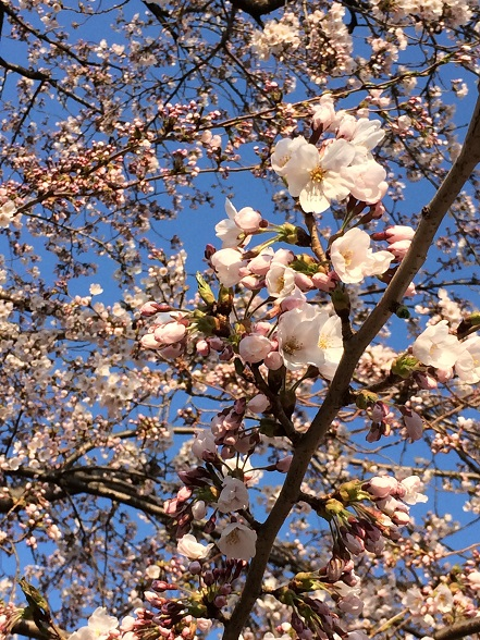 061新井田公園桜