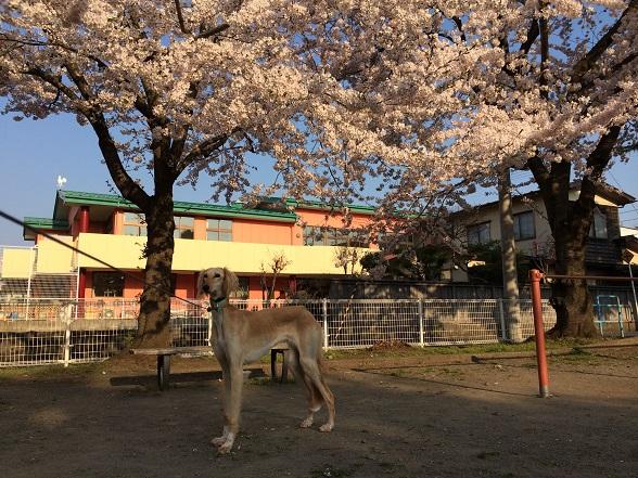 024桜びび2