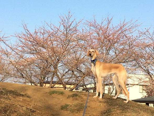 003桜びび3