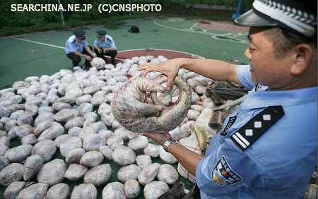 このままでは中国人に食べ尽くされてしまう!センザンコウが絶滅の危機―英紙 14 08 03 おーぷんnews