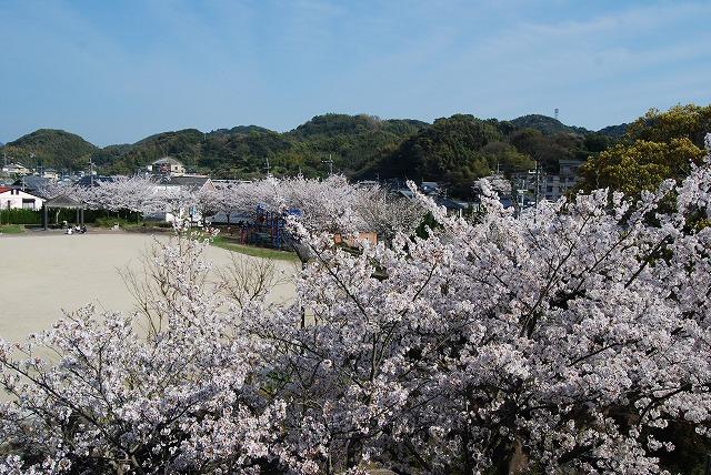 青空に満開の桜