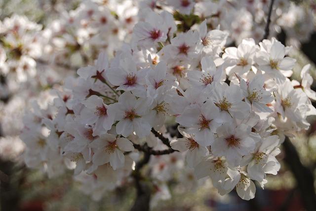 桜に思いを馳せて