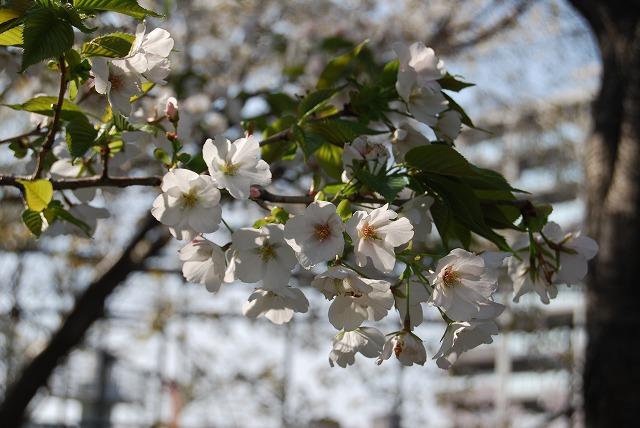 さわやかな大島桜