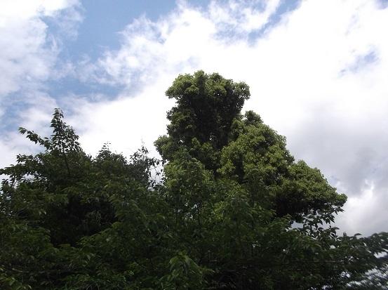 樹1908