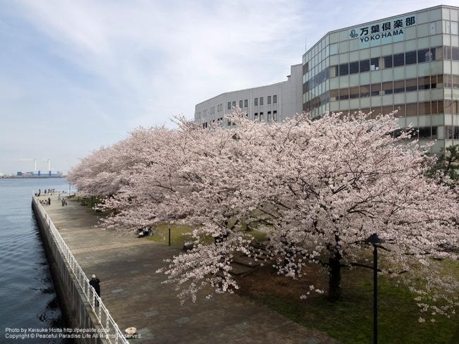 みなとみらい 新港パークの桜