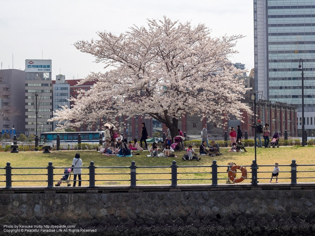 みなとみらい 汽車道の桜