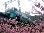 河津桜と251系スーパービュー踊り子