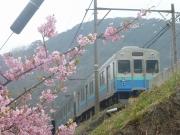 河津桜と8000系