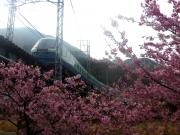河津桜とドルフィンリゾート