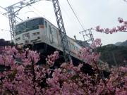 河津桜と185系踊り子