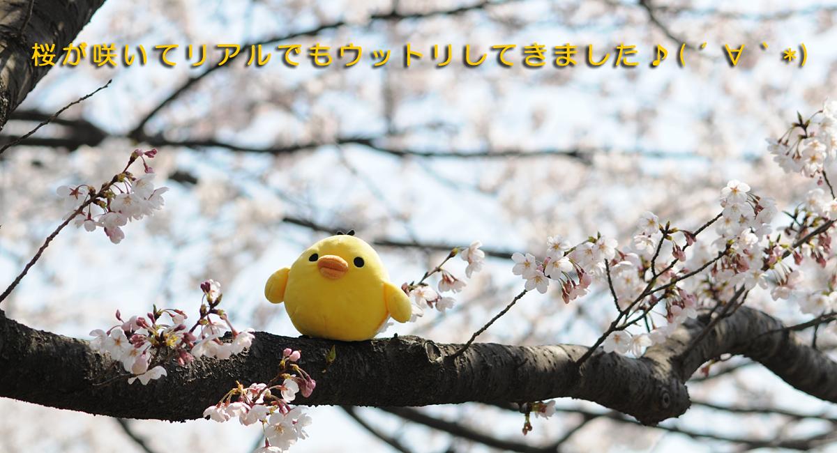 桜とキイロイトリ