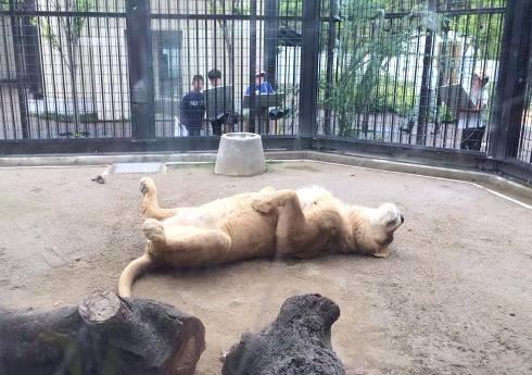 ライオン女子(笑)