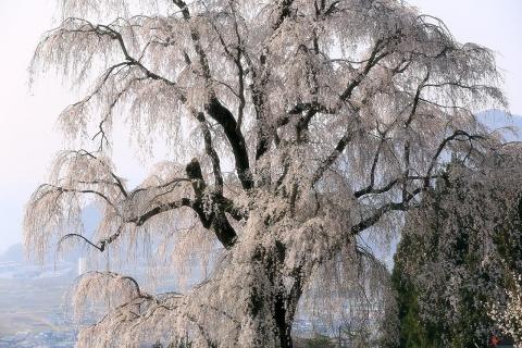 水中の枝垂桜