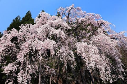 坪井の枝垂れ桜