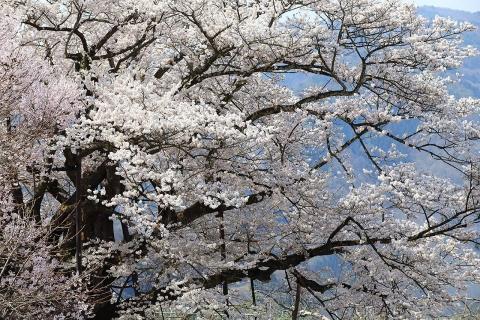 素桜神社の神代桜
