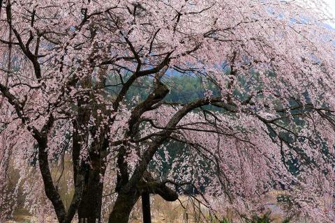 赤和観音の枝垂れ桜