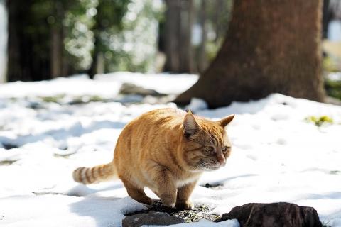 雪の上の茶トラ
