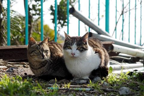 キジトラとキジシロ
