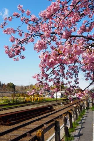 沿線の河津桜