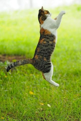 猫じゃらしに向かってジャンプ