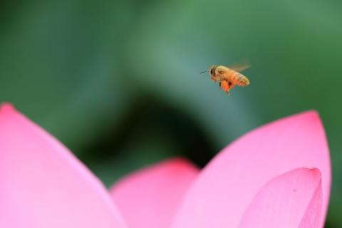 古代蓮とミツバチ