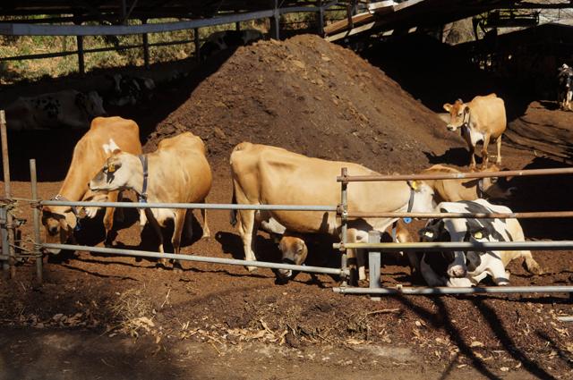 磯沼牧牧場さんの牛
