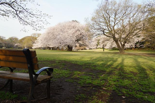 砧公園の桜と椅子
