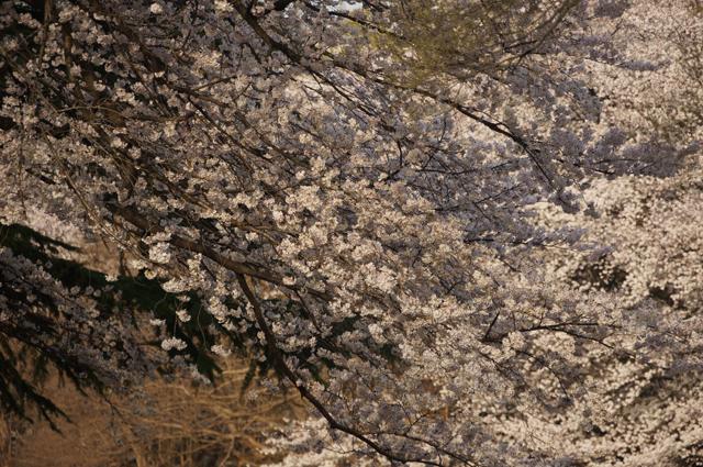 砧公園の綺麗な桜、うほ0-