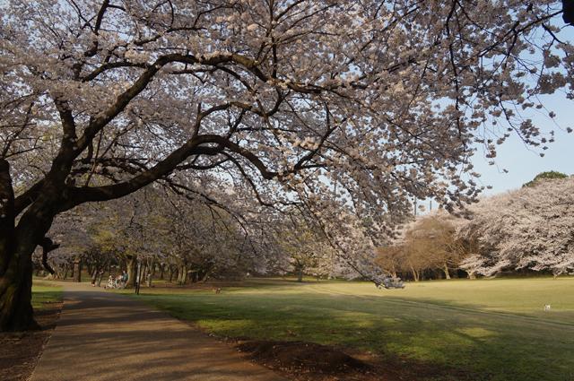 砧公園の桜並木