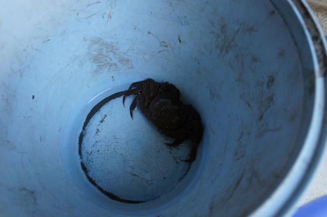 日野の上田用水系でとれたモズク蟹