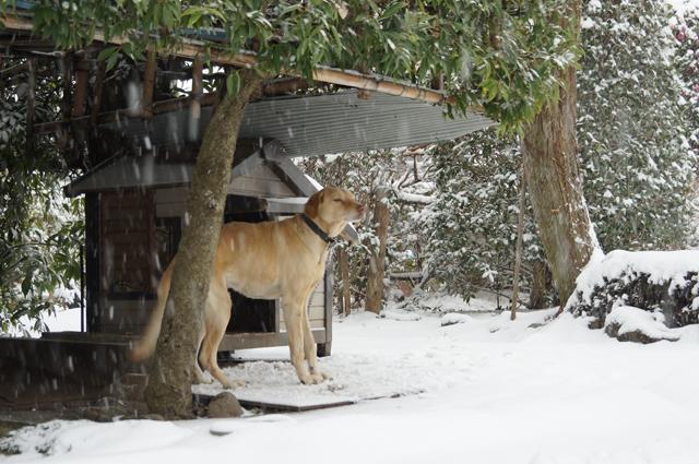 雪が嫌な番犬