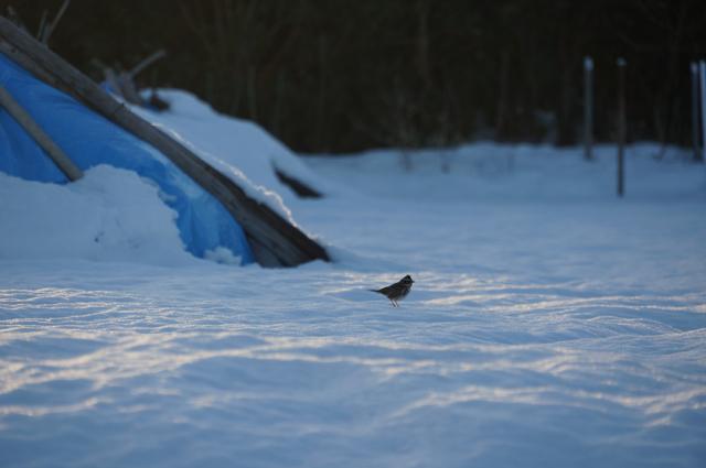 タンボに餌を探しに来た野鳥