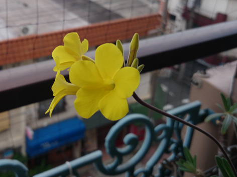20140629グラキリス花