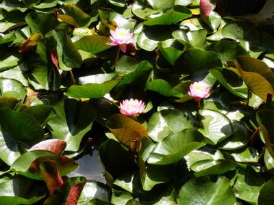 紫陽花 (85)