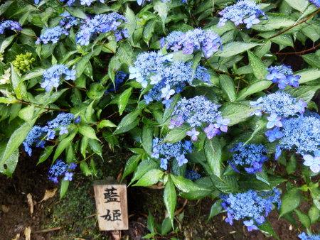 紫陽花 (40)