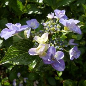 紫陽花 (51)