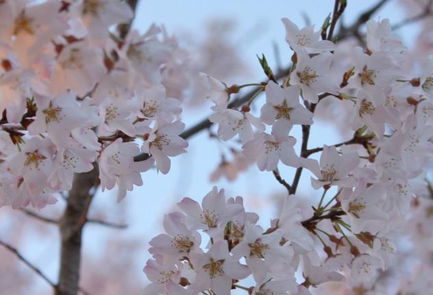 IMG桜道p
