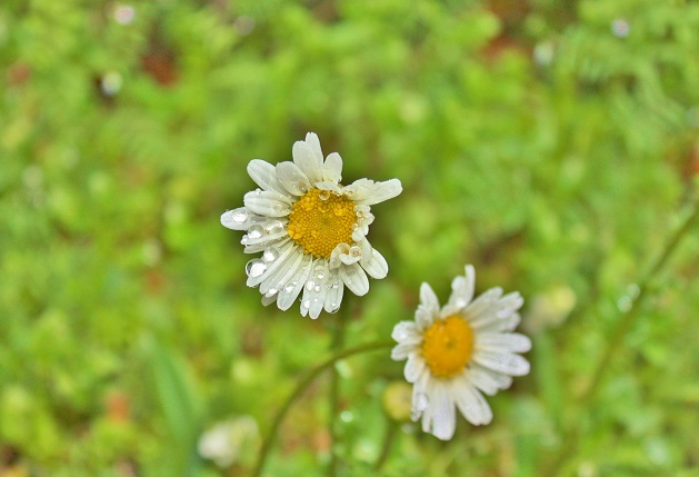 IMG白い花