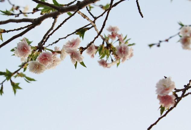 IMG201403桜p