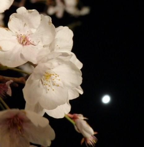 伊丹 須磨浦夜桜 014