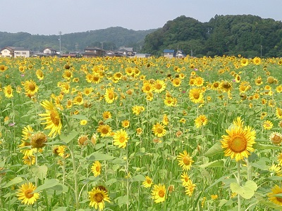 ひまわり 2014.7.29-1