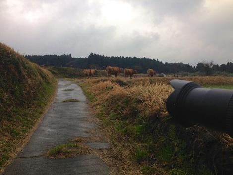 阿蘇の牛たち