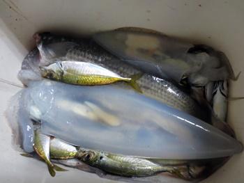 久しぶりにイカ釣りました。