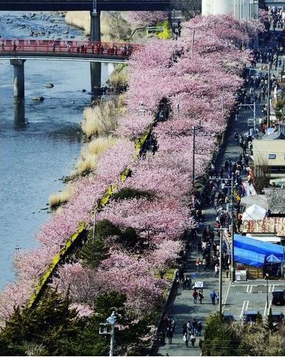 140227河津桜