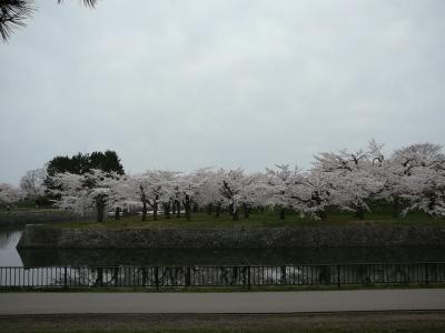 函館、五稜郭のソメイヨシノ