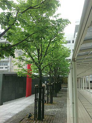 シナノキの街路樹-2