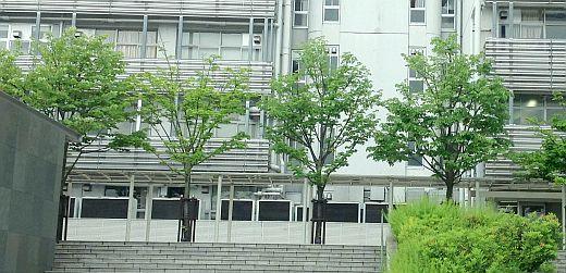 シナノキの街路樹-1